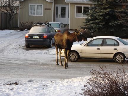 moose-5.jpg